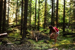 Kantarellskogen