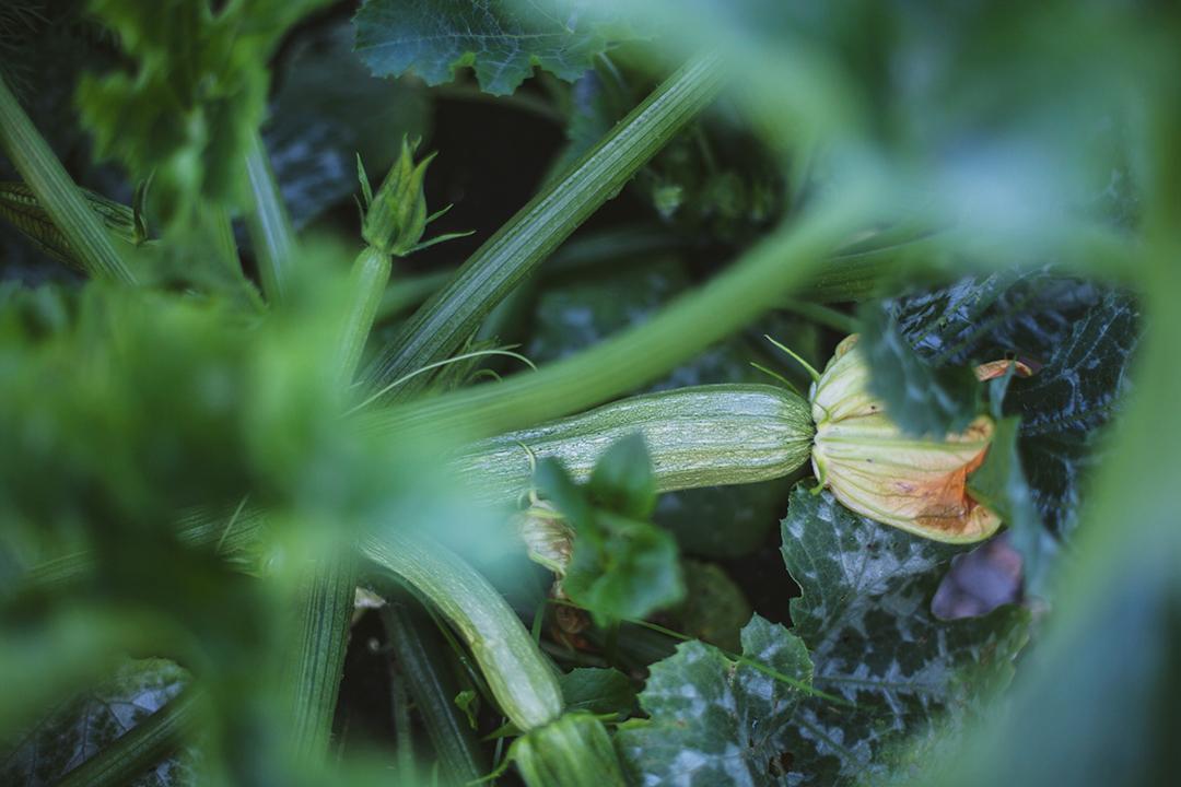 Squash – grønnsakshagen